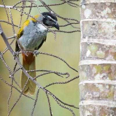 Saltator à tête noire (Saltator atriceps) est un oiseau qui appartient à la famille des Thraupidés.