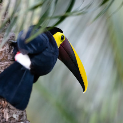 Toucan tocard (Ramphastos ambiguus) - Yellow-throated Toucan