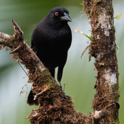 Vacher bronzé (Molothrus aeneus) est un oiseau qui appartient à la famille des Ictéridés.