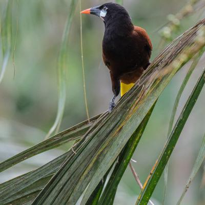 Cassique de Montezuma (Psarocolius montezuma) est un oiseau qui appartient à la famille des Ictéridés.