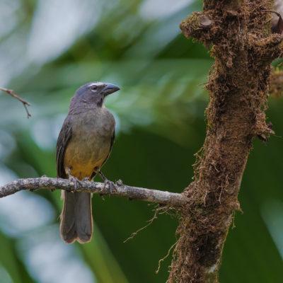 Saltator gris (Saltator coerulescens)