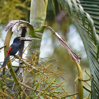 Araçari à collier (Pteroglossus torquatus)