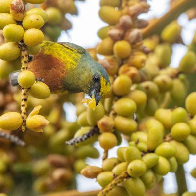 Organiste olive (Euphonia gouldi) est un oiseau qui appartient à la famille des Fringillidés et à l'ordre des Passériformes.