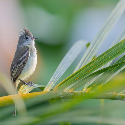 Élénie à ventre jaune - Elaenia flavogaster Yellow-bellied Elaenia