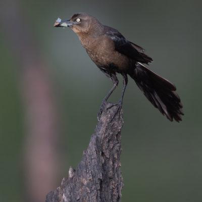 Quiscale à longue queue (Quiscalus mexicanus) est un oiseau qui appartient à la famille des Ictéridés.