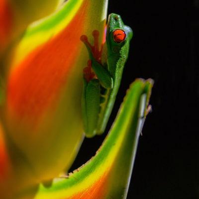 Rainette aux yeux rouges Agalychnis callidryas