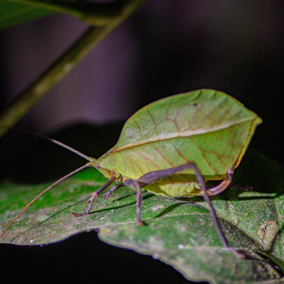 « Sauterelle feuille » Tettigoniide Pseudophylline