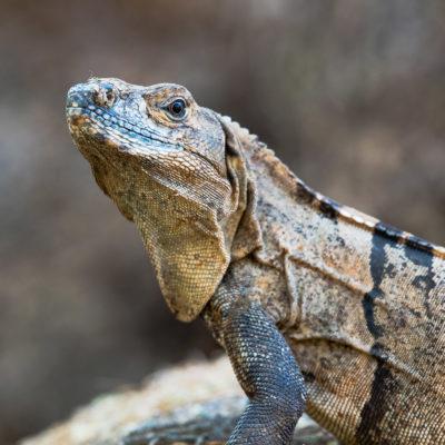 Ctenosaura similis, cténosaure noir ou iguane à queue épineuse noire est une espèce de sauriens de la famille des Iguanidae.