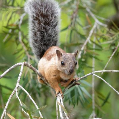 Écureuil du Costa Rica