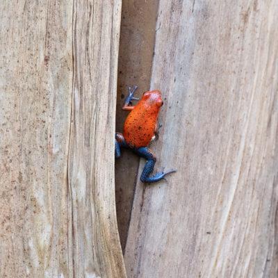 Oophaga pumilio est une espèce d'amphibiens de la famille des Dendrobatidae1. Cette espèce est parfois appelée Dendrobate fraise ou Grenouille des fraises.