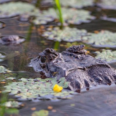 Caïman à lunette Caiman crocodilus