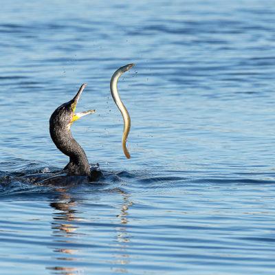 Un mets de choix pour ce grand cormoran (Phalacrocorax carbo)