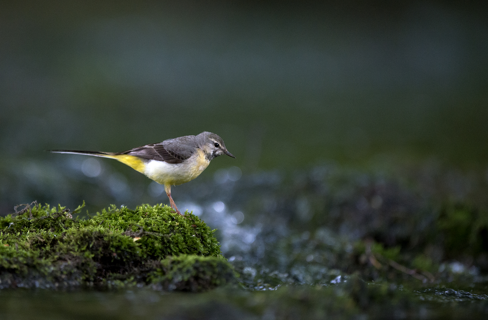Bergeronnette des ruisseaux Motacilla cinerea – Grey Wagtail