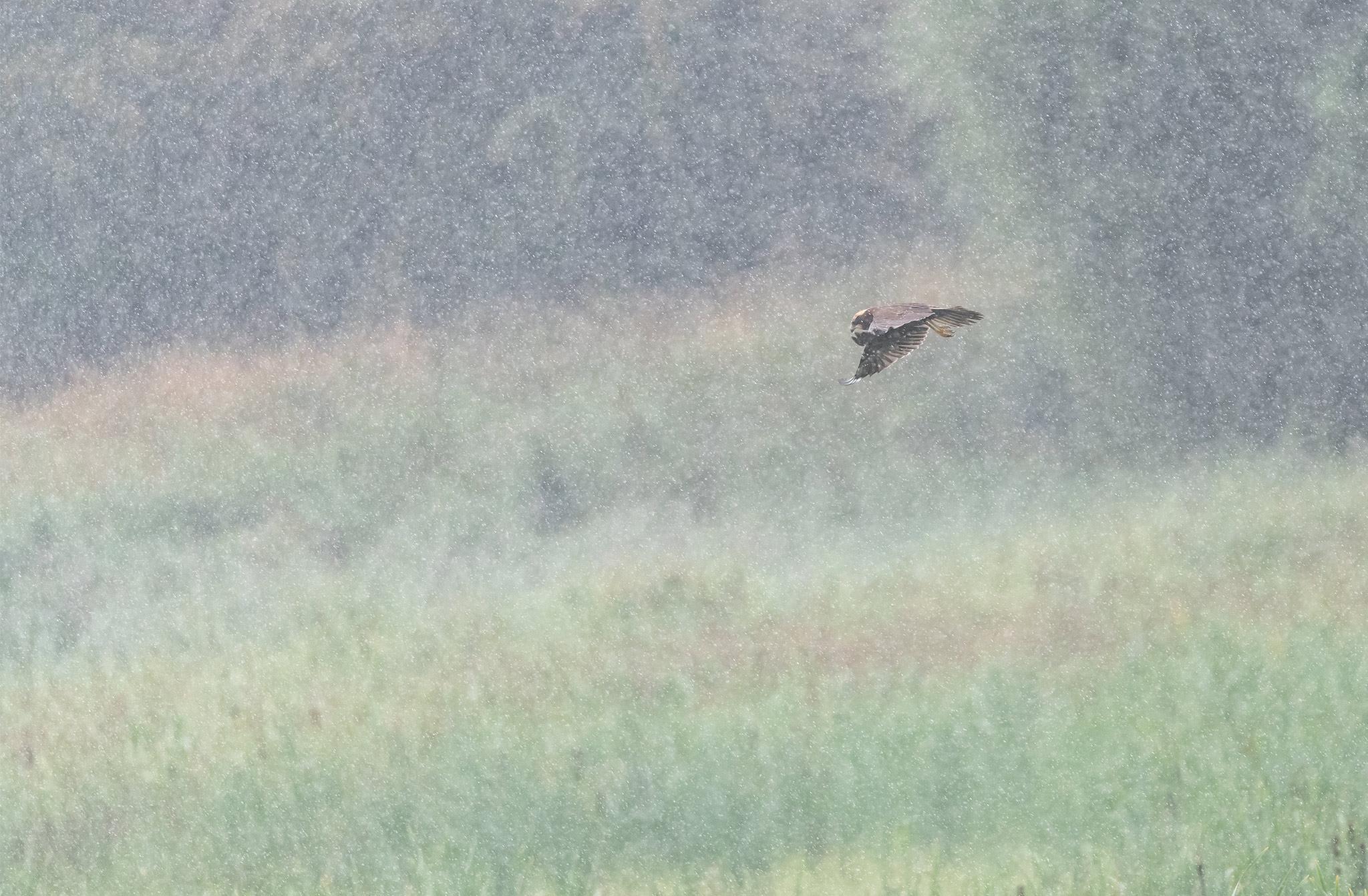 Busard des roseaux (Circus aeruginosus) sous une pluie battante