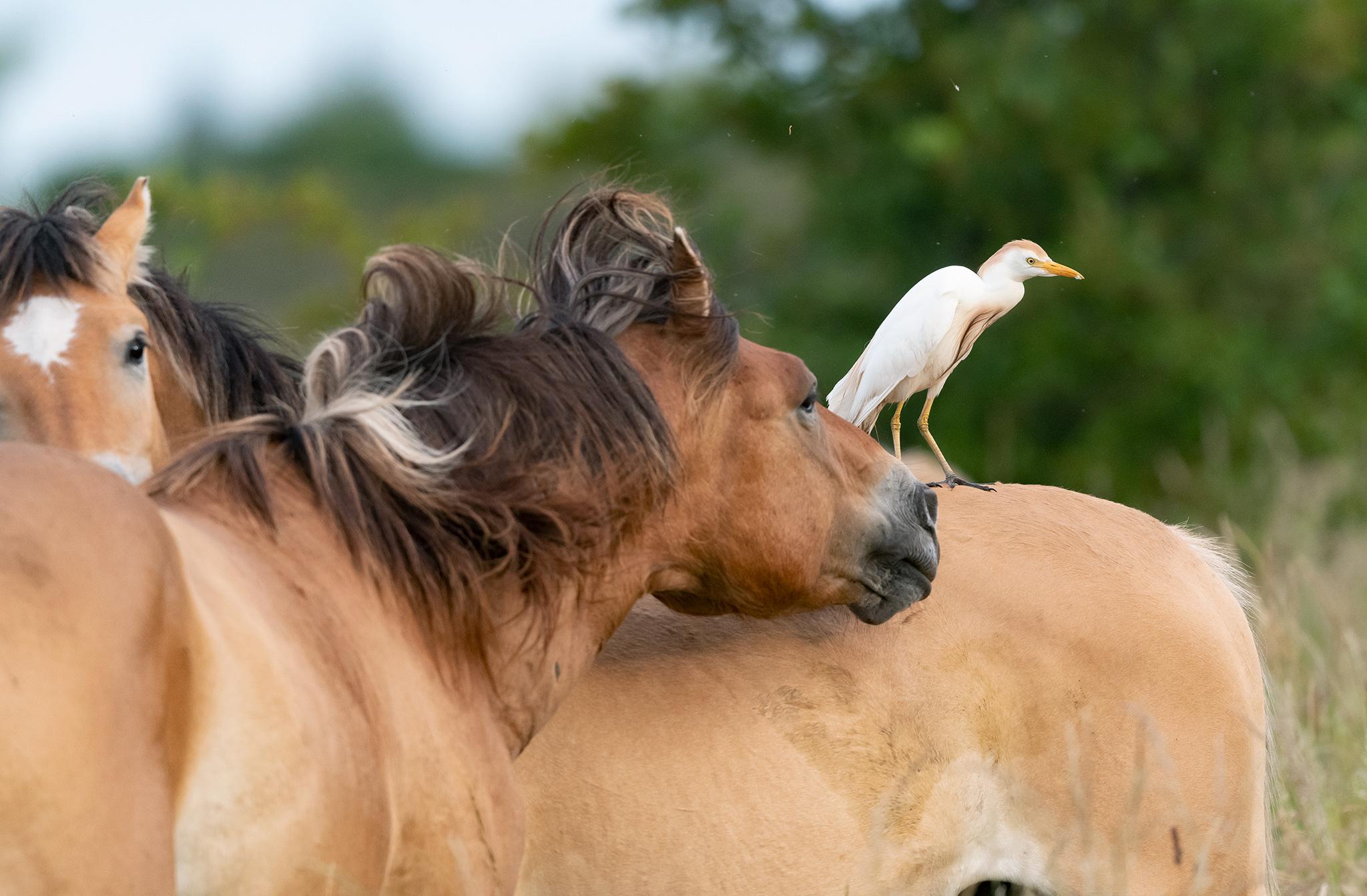 Héron garde-boeufs (Bubulcus ibis) sur la croupe d'un cheval Henson - Baie de Somme