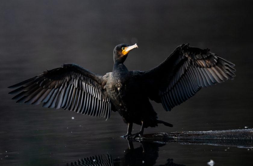 Le Grand Cormoran aux yeux émeraudes