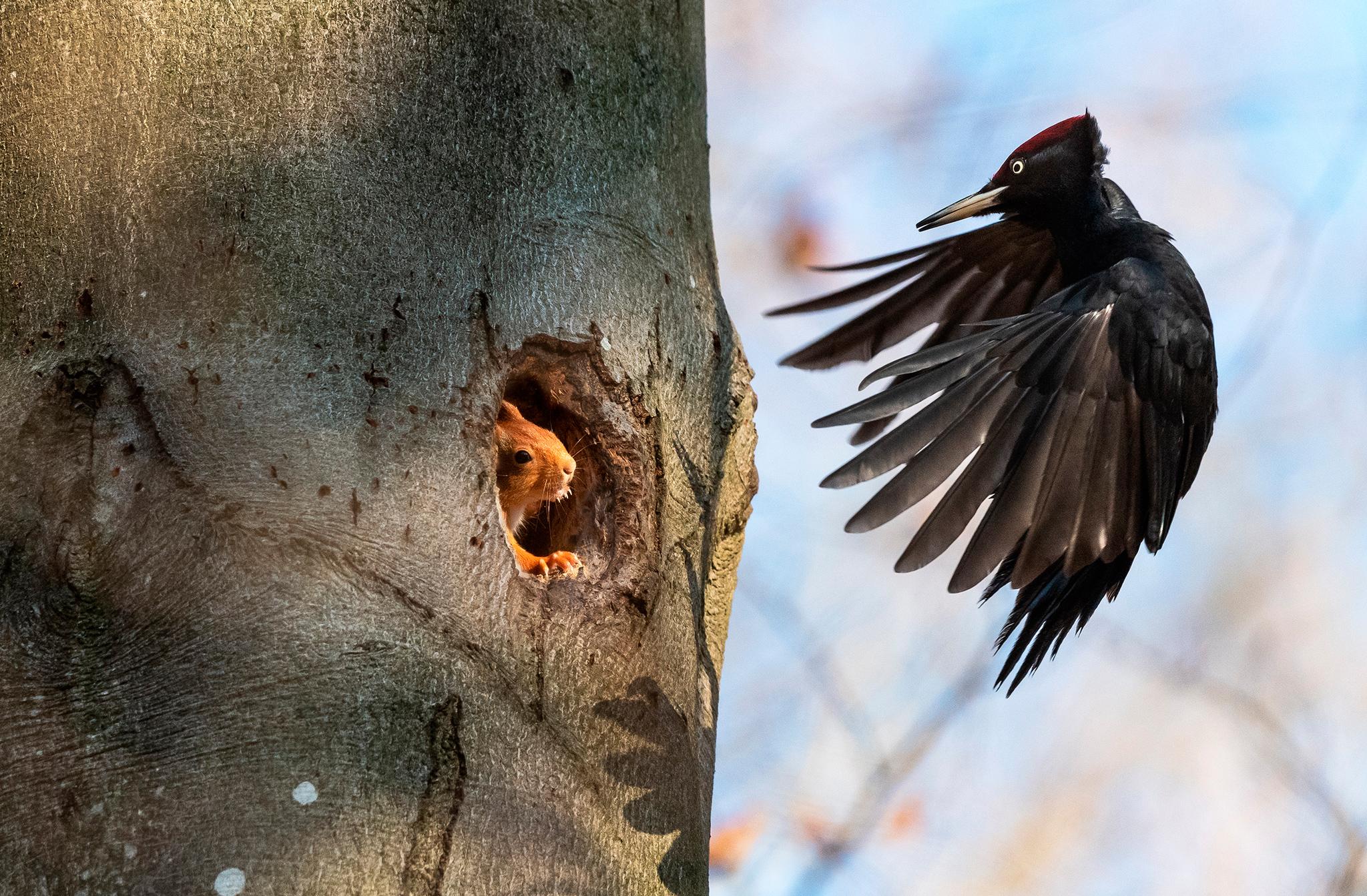Écureuil roux surpris dans son sommeil par un couple de pics noirs le mâle veut récupérer la loge. Île de France - France