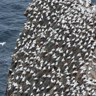 Fous de Bassan à Hermaness National Nature Reserve – Îles Shetland