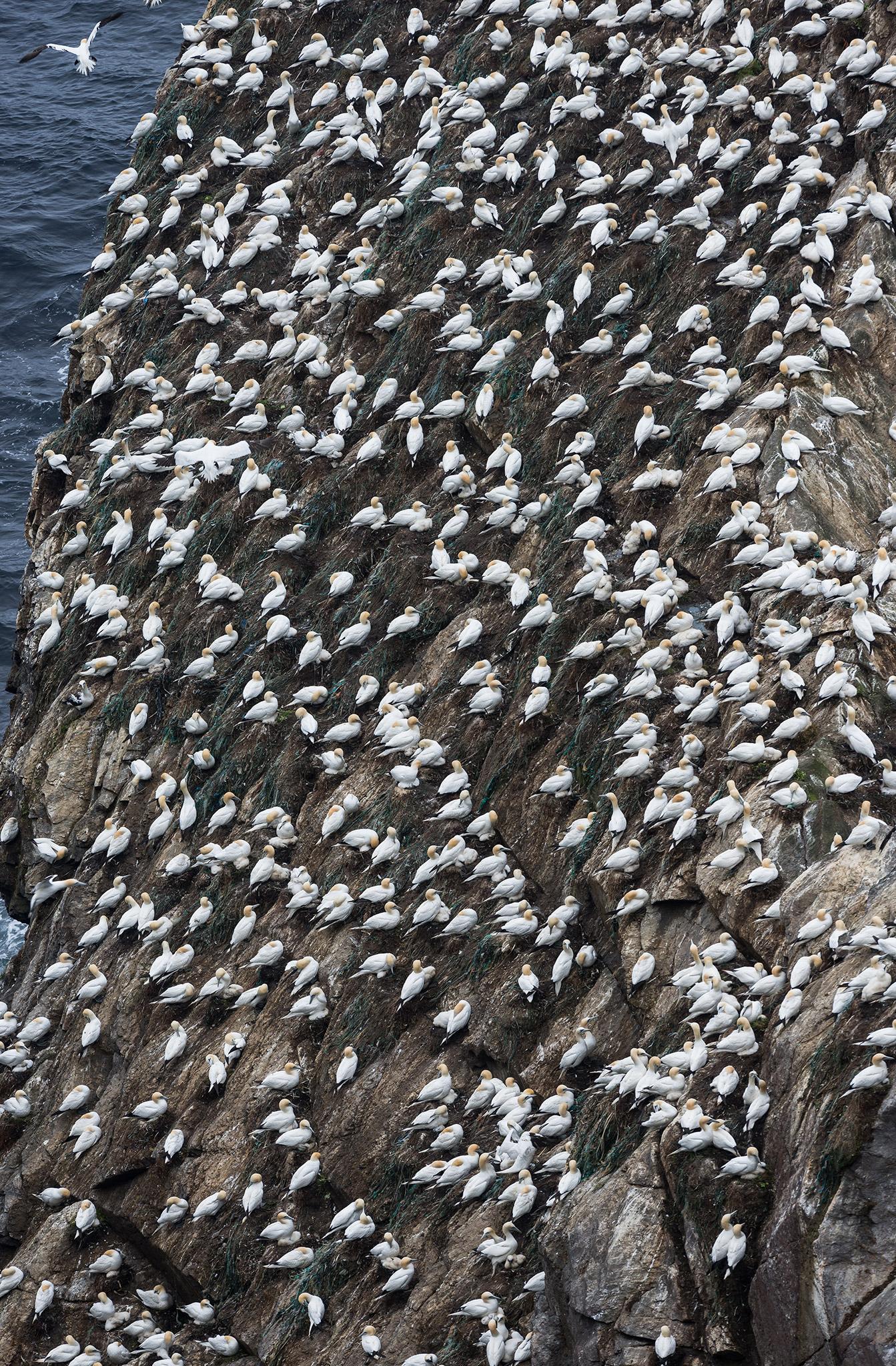 Rocher constellé de milliers de taches blanches : une colonie de fous de Bassan.