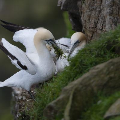 Fou de Bassan - île d'Unts falaises d'Hermaness  - Shetland - Écosse