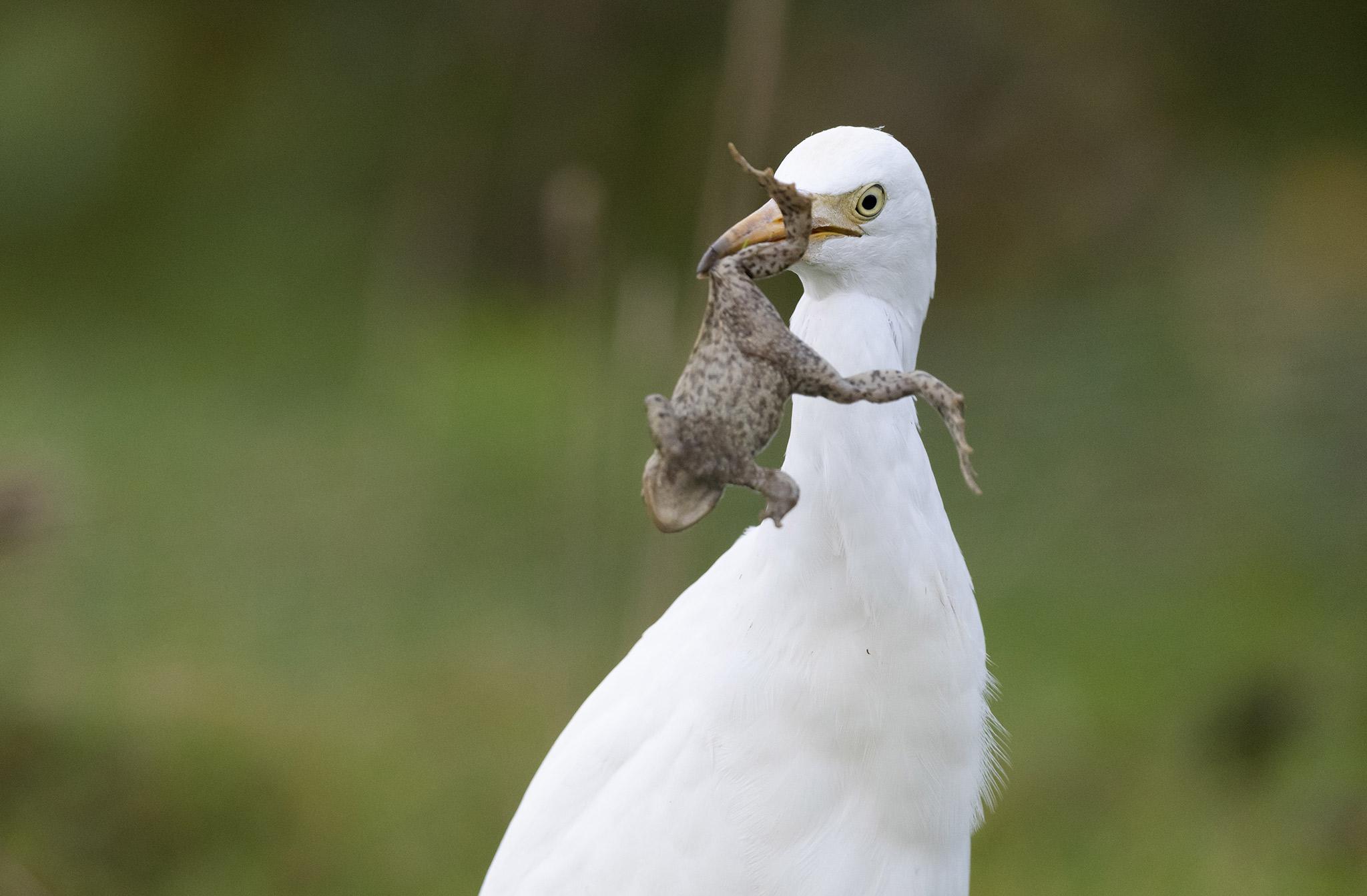 Héron garde-boeufs (Bubulcus ibis) - Baie de Somme - Hauts de France - France